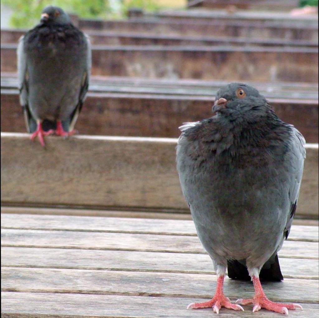 pigeons lining up